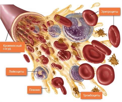 Система красных кровяных телец фото