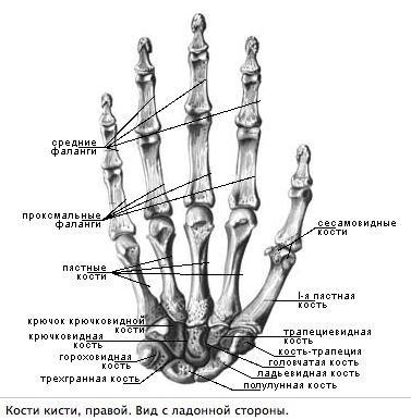 анатомия кисти фото